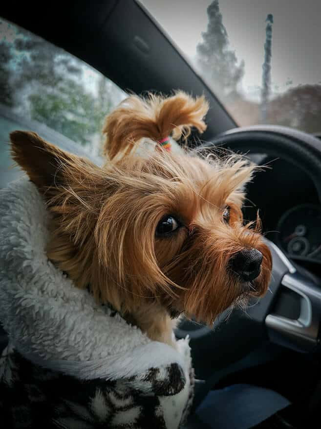 Cute dog wearing a jacket sitting in the front drivers seat of a car.